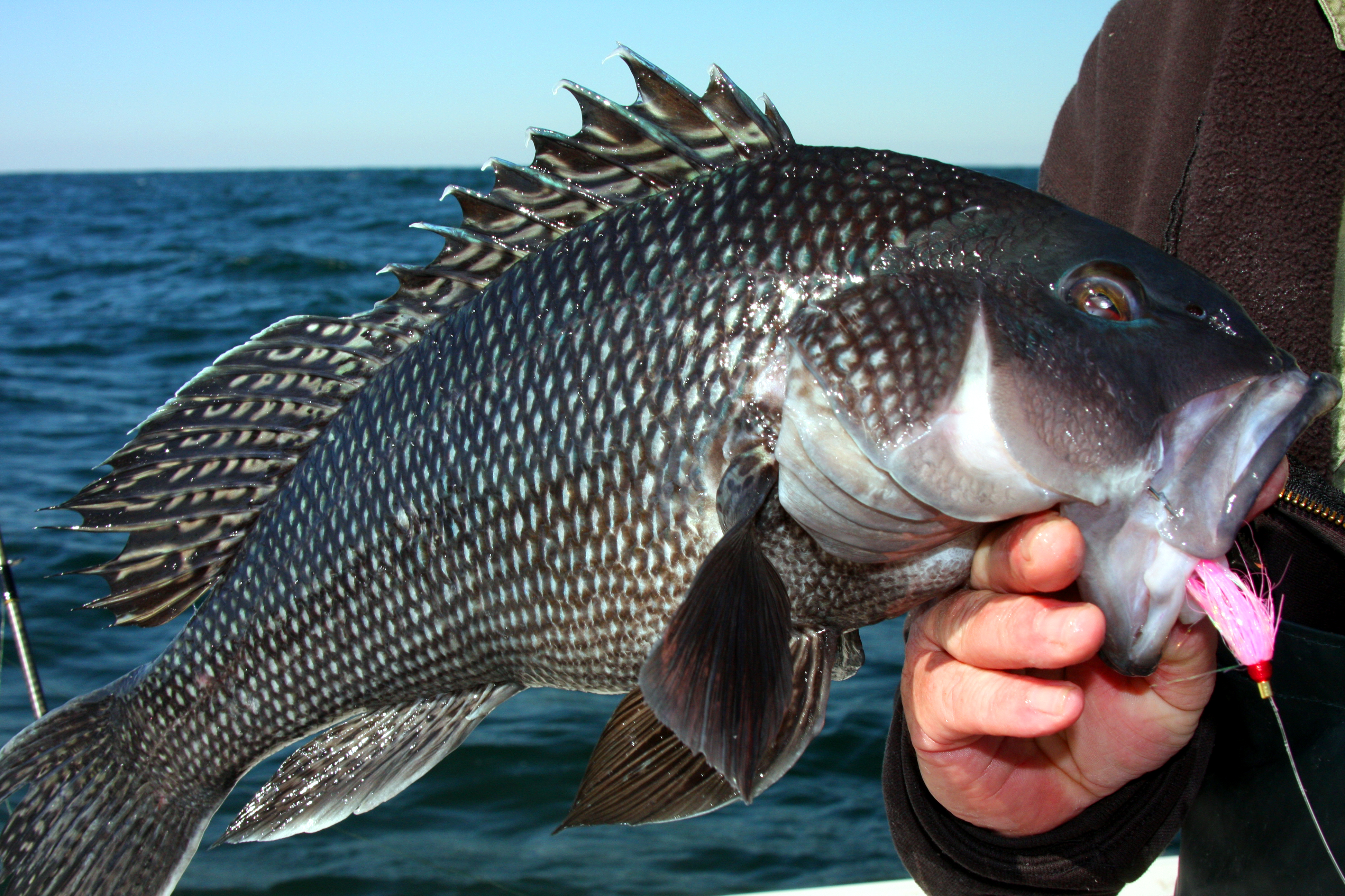 black-sea-bass-picture
